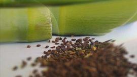 Üzerlik Tohumu Kullanımı ve DMT Etkisi