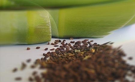 Üzerlik tohumu kullanımı dmt etkisi, üzerlik tohumu, üzerlik otu, üzerlik bitkisi, üzerlik çayı, üzerlik tohumu çayı, üzerlik tohumunun faydaları yararları zararları