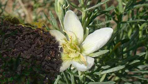üzerlik tohumu kullanım şekli, dozları, üzerlik nasıl kullanılır, üzerlik çayı